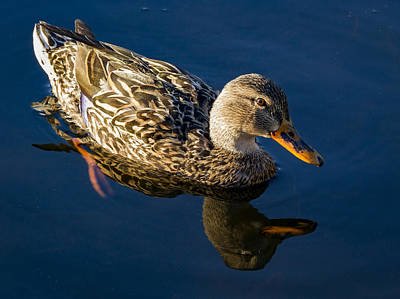 Photograph - Portrait Of A Female Mallard by Jean Noren