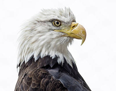 Photograph - Portrait Of A Fierce Eagle by Greg Nyquist