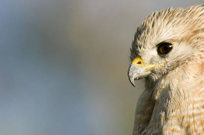 Buteo Lineatus Photograph - Portrait Of A Florida Red-shouldered by Tim Laman