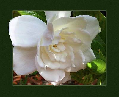 Photograph - Portrait Of A Gardenia by Ginny Schmidt