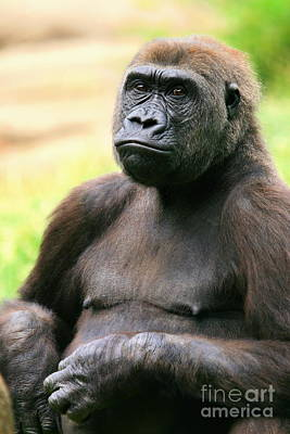 Photograph - Portrait Of A Gorilla by Angela Rath