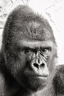 Photograph - Portrait Of A Gorilla by For Ninety One Days