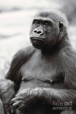 Photograph - Portrait Of A Gorilla In Black And White by Angela Rath