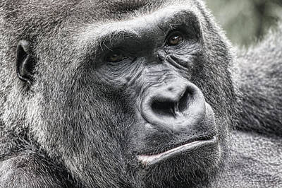 Photograph - Portrait Of A Gorilla by Jeff Swanson