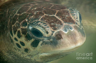 Portrait Of A Green Sea Turtle Art Print by Jacques Jacobsz