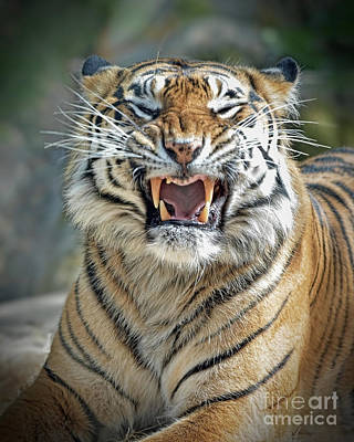 Portrait Of A Growling Tiger  Art Print