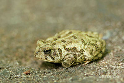 Photograph - Portrait Of A Grumpy Toad - Fowler's Toad by Jane Eleanor Nicholas