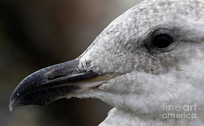 Photograph - Portrait Of A Gull by Sue Harper
