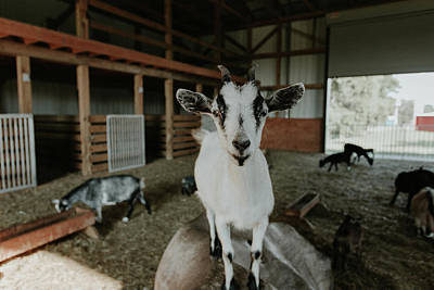 Photograph - Portrait Of A Happy Goat by Amber Flowers