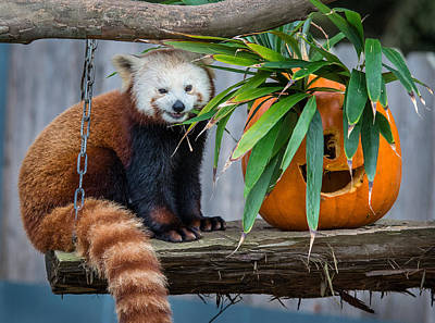 Photograph - Portrait Of A Happy Red Panda by Greg Nyquist