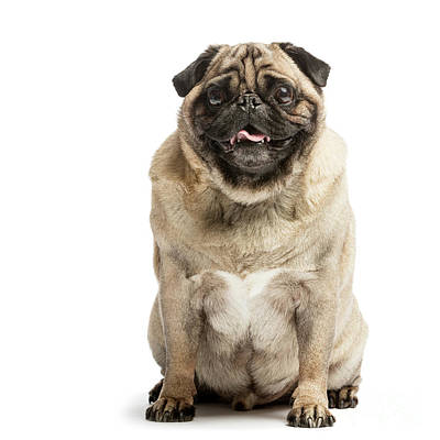 Photograph - Portrait Of A Happy Smiling Pug Dog by Michal Bednarek
