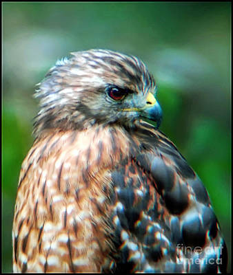 Photograph - Portrait Of A Hawk by Sue Melvin