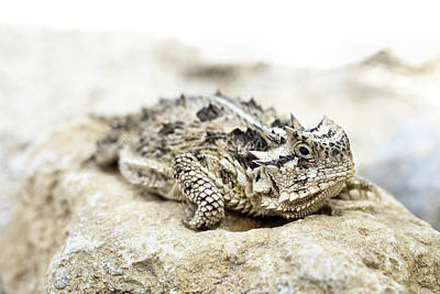 Photograph - Portrait Of A Horned Lizard by JC Findley