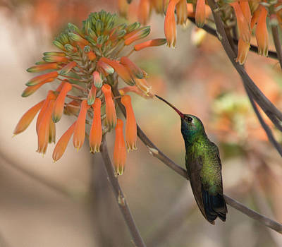 Photograph - Portrait Of A Hummingbird by Sue Cullumber