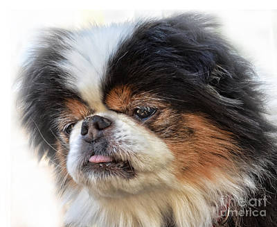 Photograph - Portrait Of A Japanese Chin Doggy by Jim Fitzpatrick