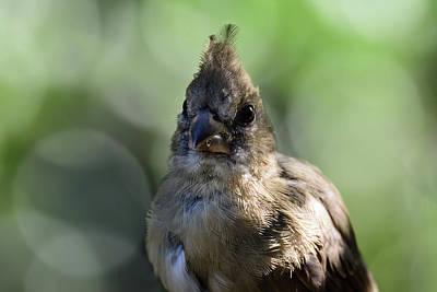 Photograph - Portrait Of A Juvenile Northern Cardinal by Debra Martz