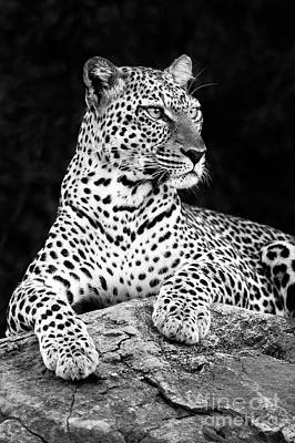 Portrait Of A Leopard Art Print by Richard Garvey-Williams