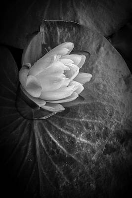 Photograph - Portrait Of A Lily by Debra and Dave Vanderlaan