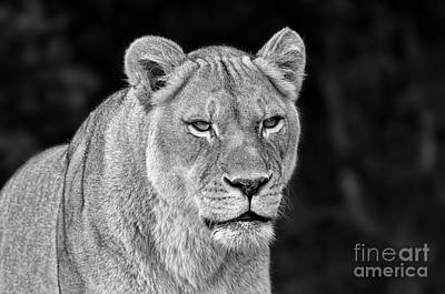 Jim Fitzpatrick Digital Art - Portrait Of A Lioness II Black And White Version by Jim Fitzpatrick