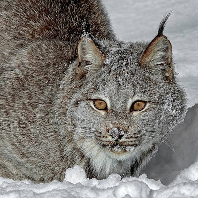 Photograph - Portrait Of A Lynx by Wes and Dotty Weber