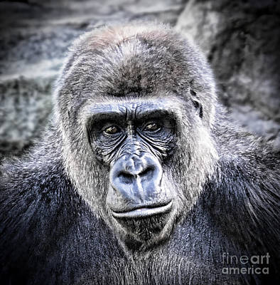 Face Photograph - Portrait Of A Male Ape by Jim Fitzpatrick