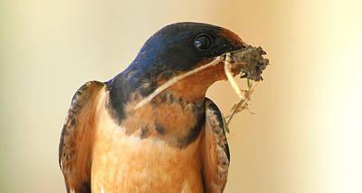 Portrait Of A Male Barn Swallow Art Print by Kala King