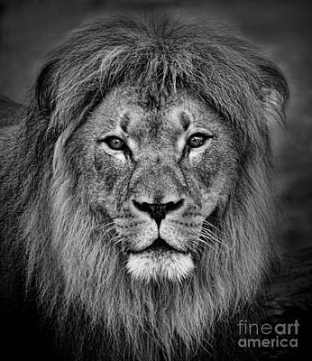Photograph - Portrait Of A Male Lion Black And White Version by Jim Fitzpatrick