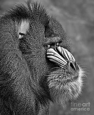 Photograph - Portrait Of A Mandrill Black And White Version by Jim Fitzpatrick