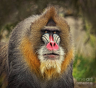 Photograph - Portrait Of A Mandrill II by Jim Fitzpatrick