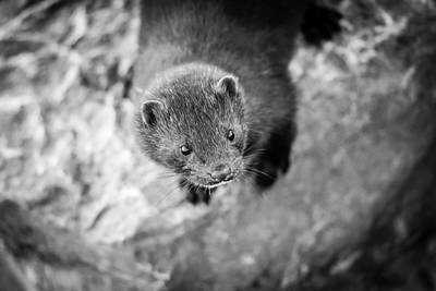 Photograph - Portrait Of A Mink by Steven Santamour