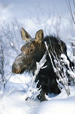 Natural Forces Photograph - Portrait Of A Moose In The Snow by Michael S. Quinton