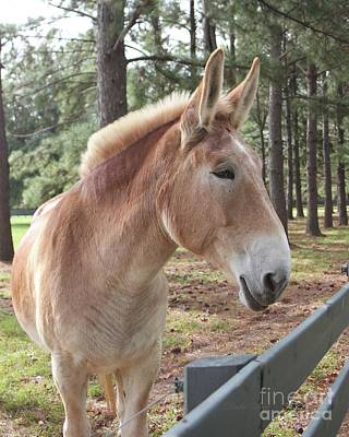 Photograph - Portrait Of A Mule by Dodie Ulery