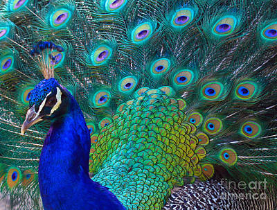 Photograph - Portrait Of A Peacock by Roger Becker