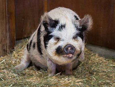 Photograph - Portrait Of A Pig by Greg Nyquist