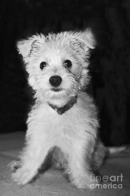 Photograph - Portrait Of A Puppy In Black And White by Terri Waters