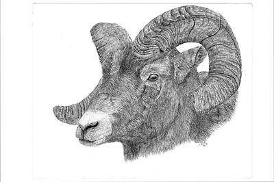 Mountain Goat Drawing - Portrait Of A Ram by Lorraine Young