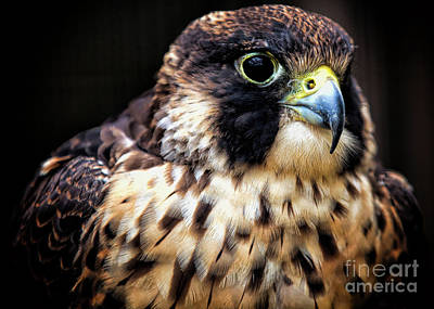 Photograph - Portrait Of A Raptor by Elizabeth Winter