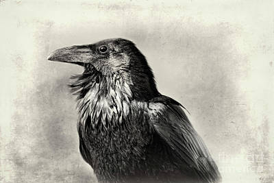 Photograph - Portrait Of A Raven by Norma Warden