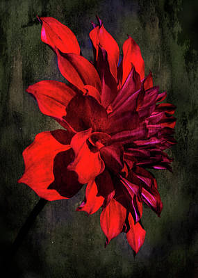 Photograph - Portrait Of A Red Flower by Ron Grafe