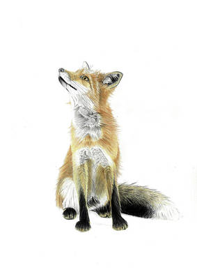 Creativity Drawing - Portrait Of A Red Fox by Jack Burdess