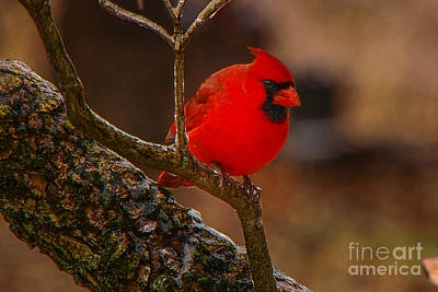 Photograph - Portrait Of A Redbird by Mary Carol Story