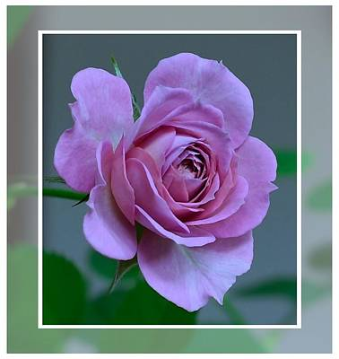 Photograph - Portrait Of A Rose by Kathy Eickenberg
