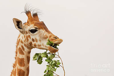 Photograph - Portrait Of A Rothschild Giraffe IIi by Nick Biemans