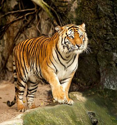 Portrait Of A Royal Bengal Tiger Art Print