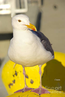 Photograph - Portrait Of A Seagull by Claudia Ellis