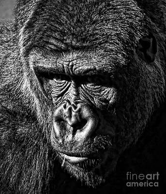 Photograph - Portrait Of A Silverback II by Jim Fitzpatrick