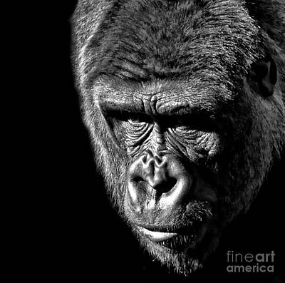 Photograph - Portrait Of A Silverback IIi by Jim Fitzpatrick