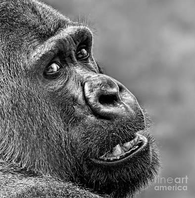 Photograph - Portrait Of A Silverback by Jim Fitzpatrick