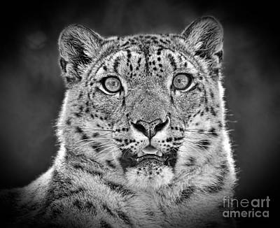 Photograph - Portrait Of A Snow Leopard Black And White Version by Jim Fitzpatrick