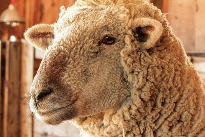 Photograph - Portrait Of A Southdown Sheep by Joni Eskridge